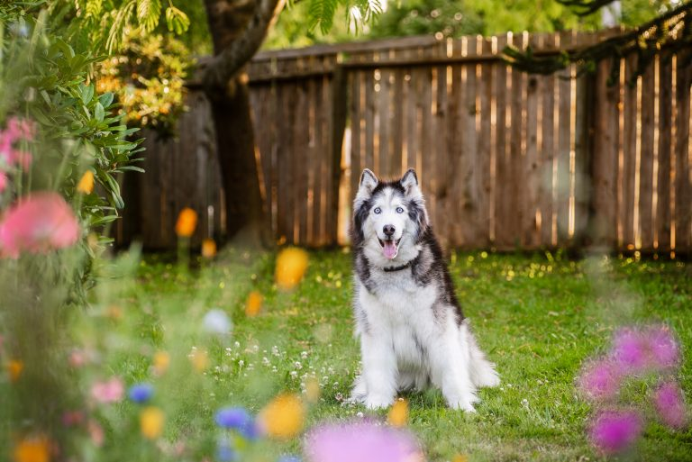 A siberian husky sits in a backyard with wildflowers.